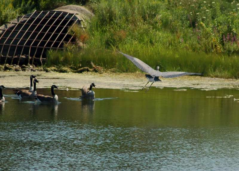 Canada geese diverting the flight path of a great blue heron