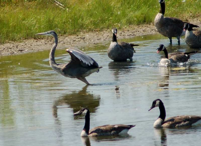 Canada goose chasing the evil heron