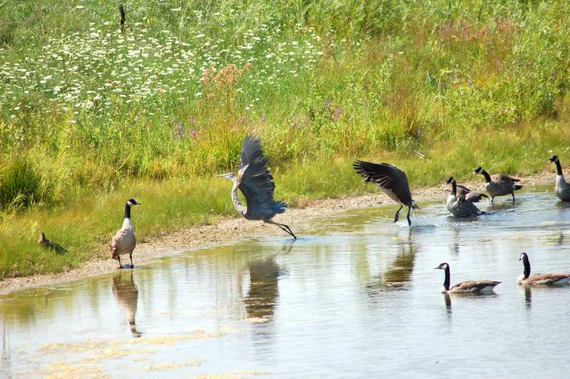 Canada goose charging the evil heron