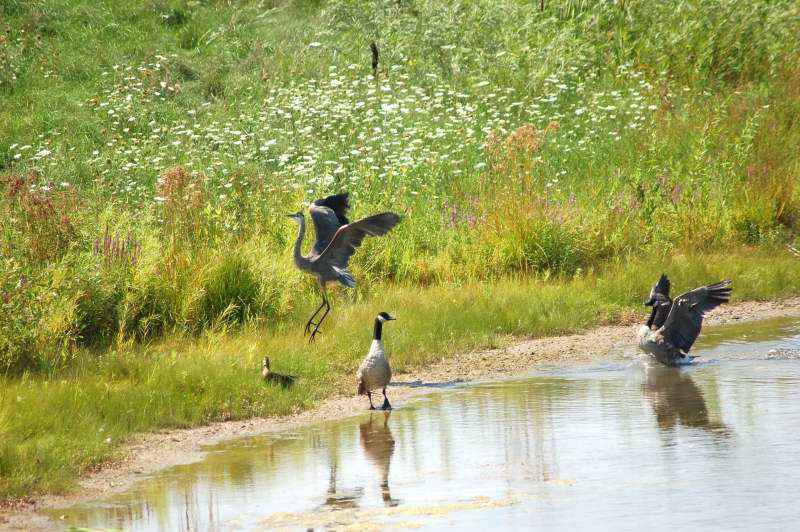 The evil heron dances away from the attacking goose