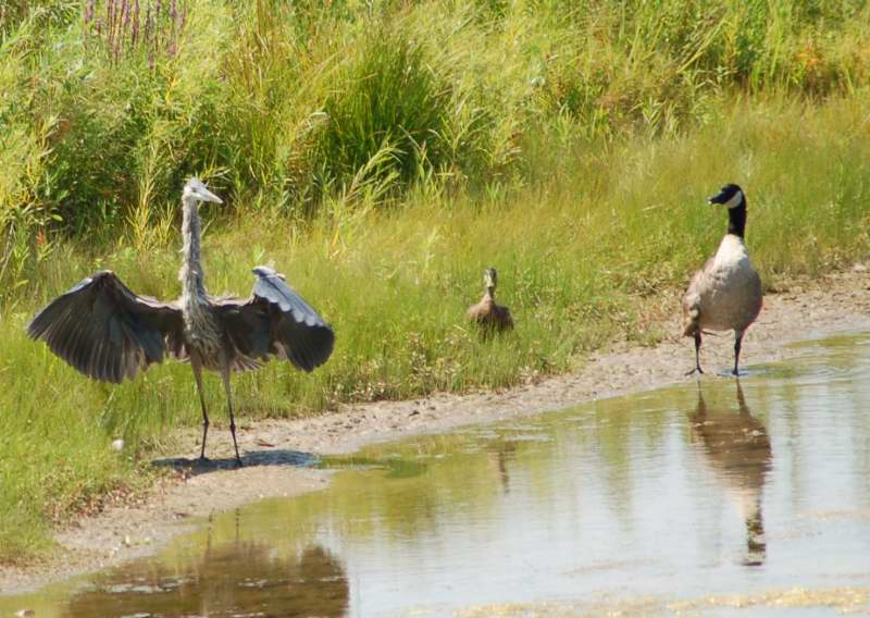 Lonesome George, molly the mallard, and the evil heron