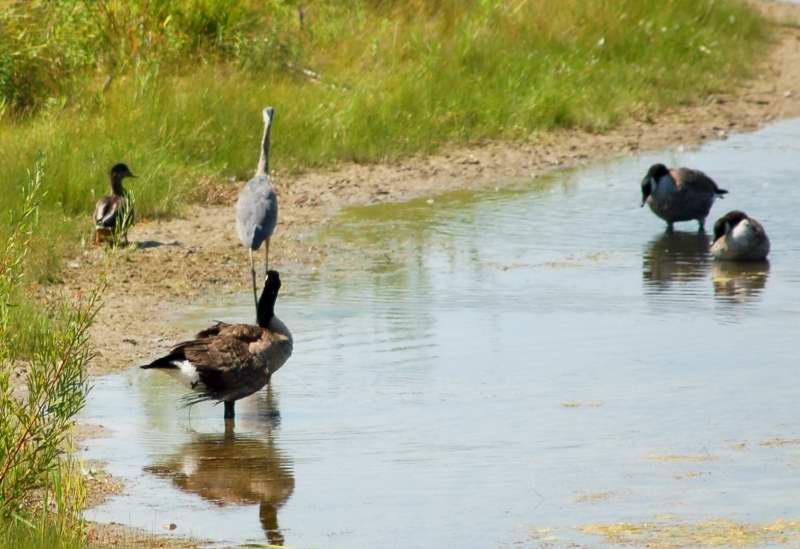 The evil heron chasing Molly the mallard