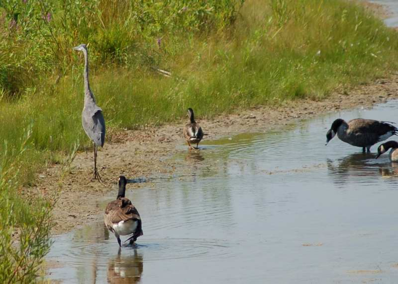 Lonesome George chasing the evil heron, who was chasing Molly