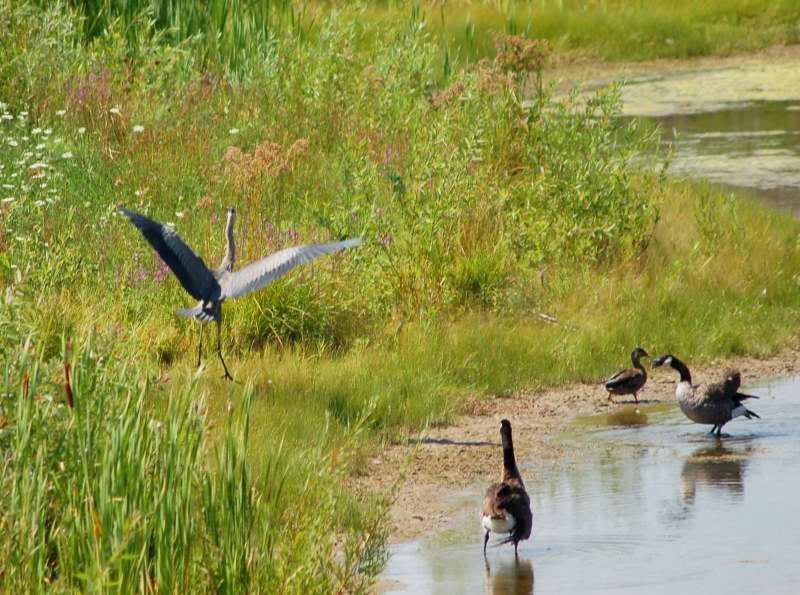 A Canada goose chasing a great blue heron