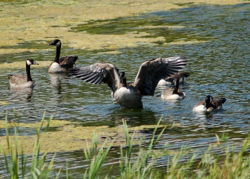 A Canada goose setting off to attack the evil heron