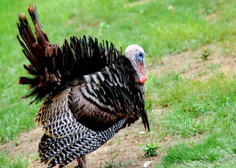 Tom Turkey displaying