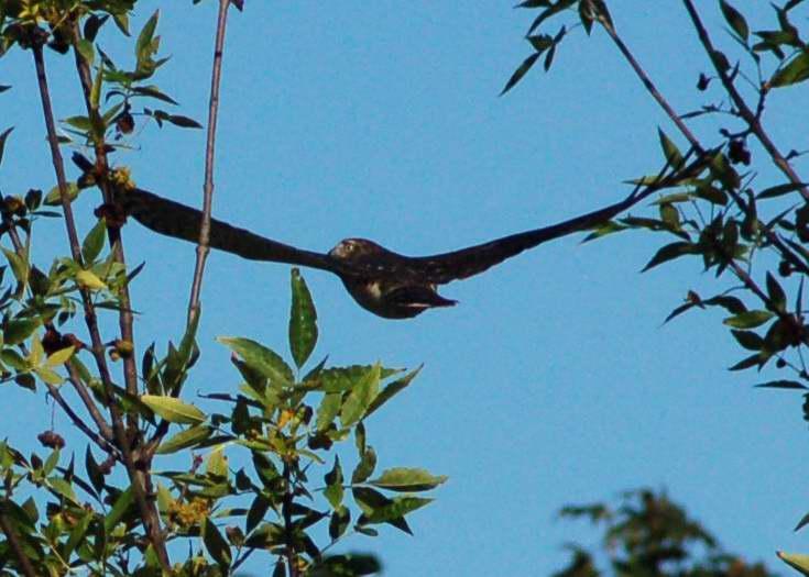 Juvenile Cooper's Hawk after buzzing me