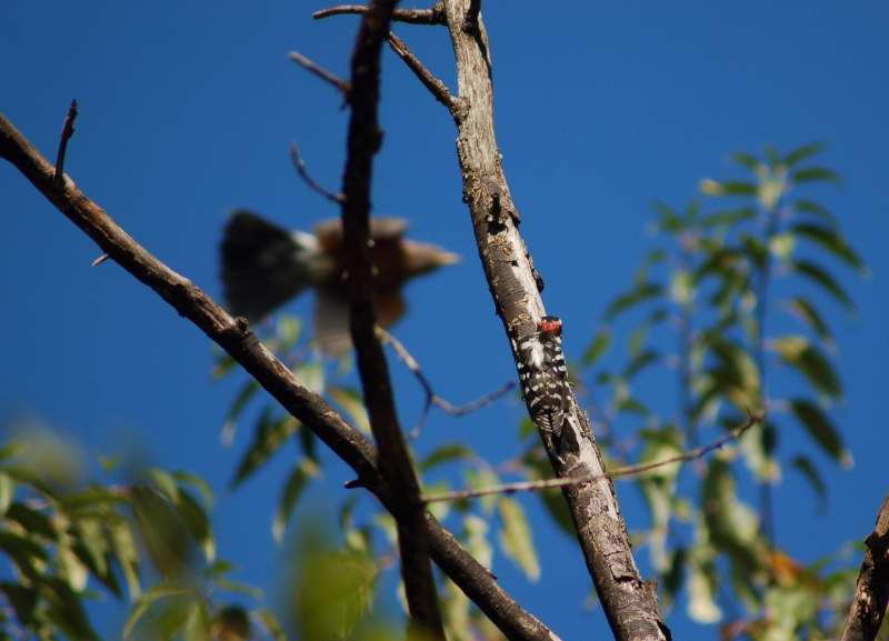 Juvenile male downy woodpecker hiding from a robin in flight