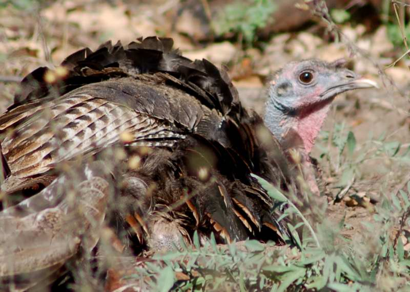 Juvenile Turkey