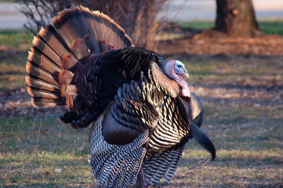 Tom turkey in full display