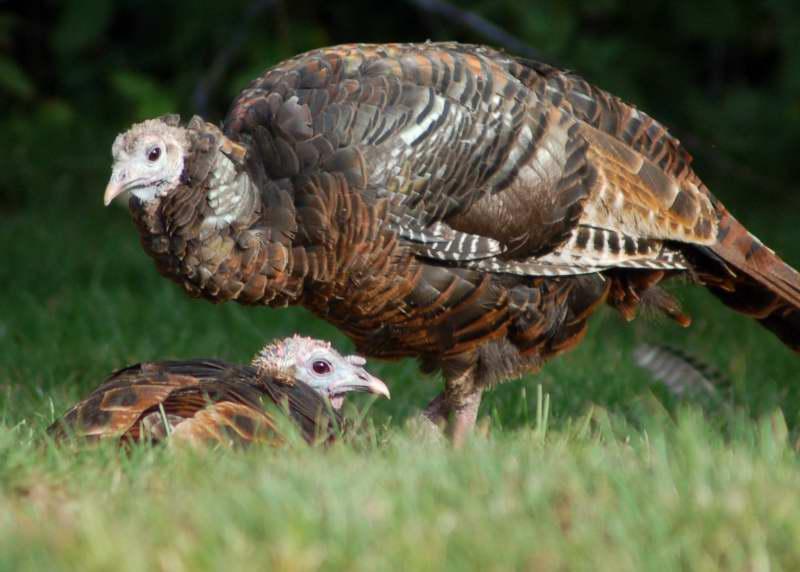 Juvenile turkeys