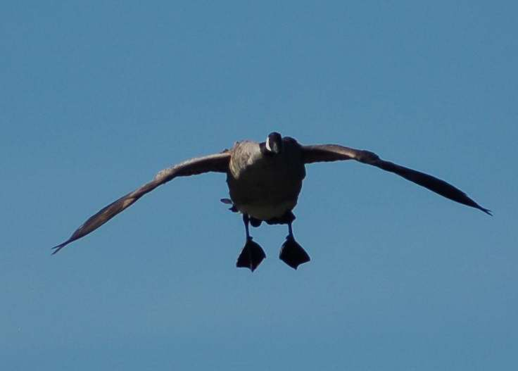 Canada goose coming in for a landing