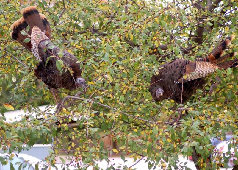 Two turkeys feeding on berries in a small tree