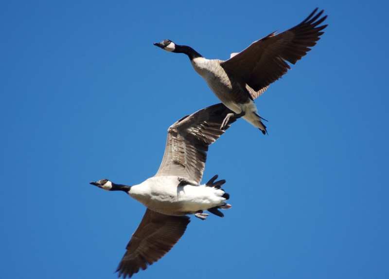 Canada geese avoiding a collision