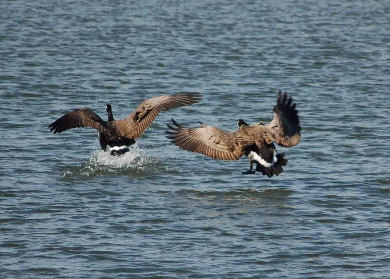 Canada geese coming in for a landing