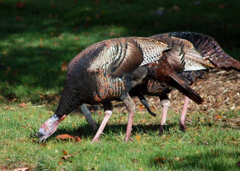 Hen Turkeys