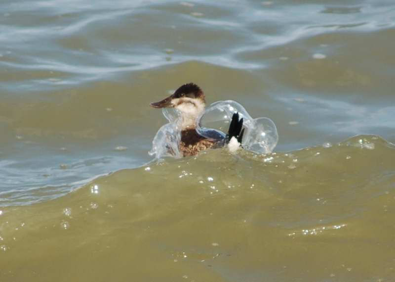 Female ruddy duck after being hit by a wave