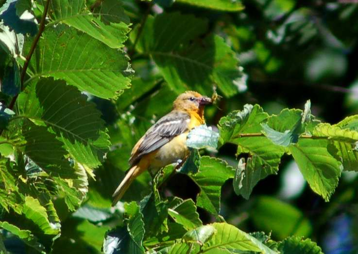 Female Baltimore Oriole gathering insects