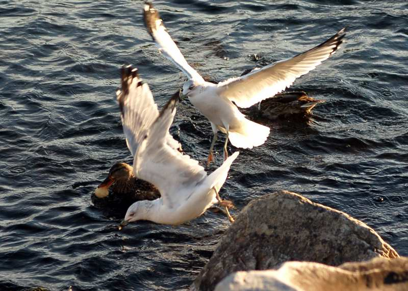 Mallard and gull food fight