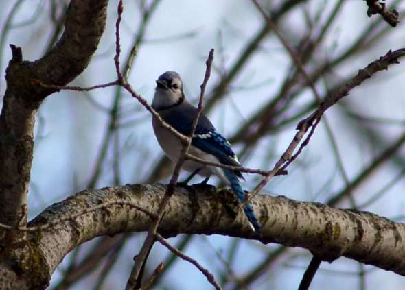 Blue jay surprised t see me