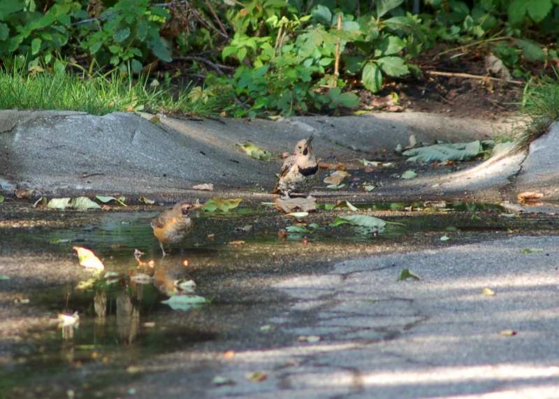 Northern flicker and American robin sharing a watering hole