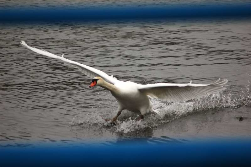 Mute swan landing before cropping