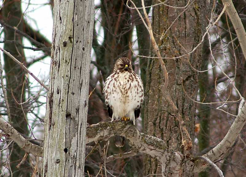 Young Red shouldered hawk