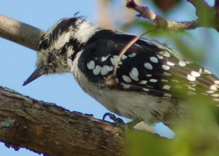 Juvenile male downy woodpecker