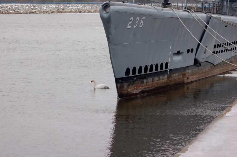 Male mute swan on guard duty