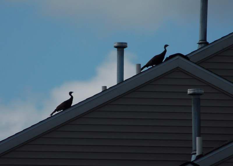 Roof top turkeys