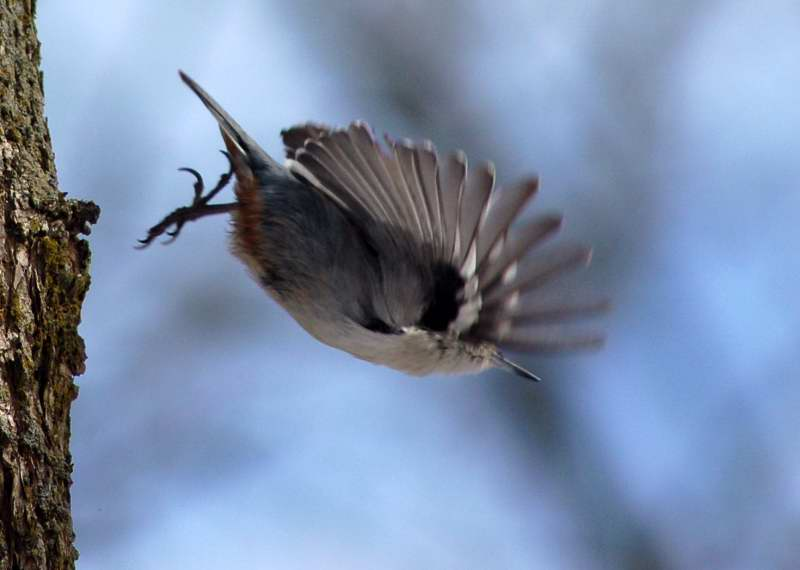 White breasted nuthatch in flight