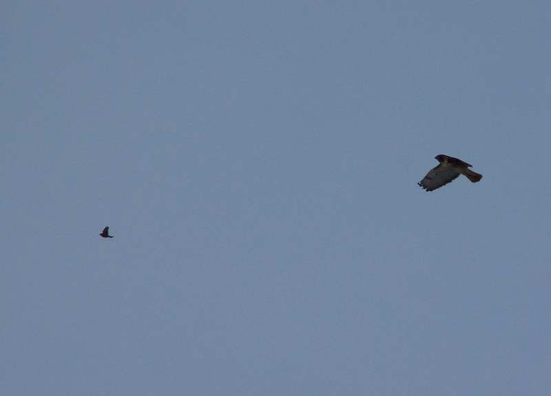 Red-tailed hawk following another bird