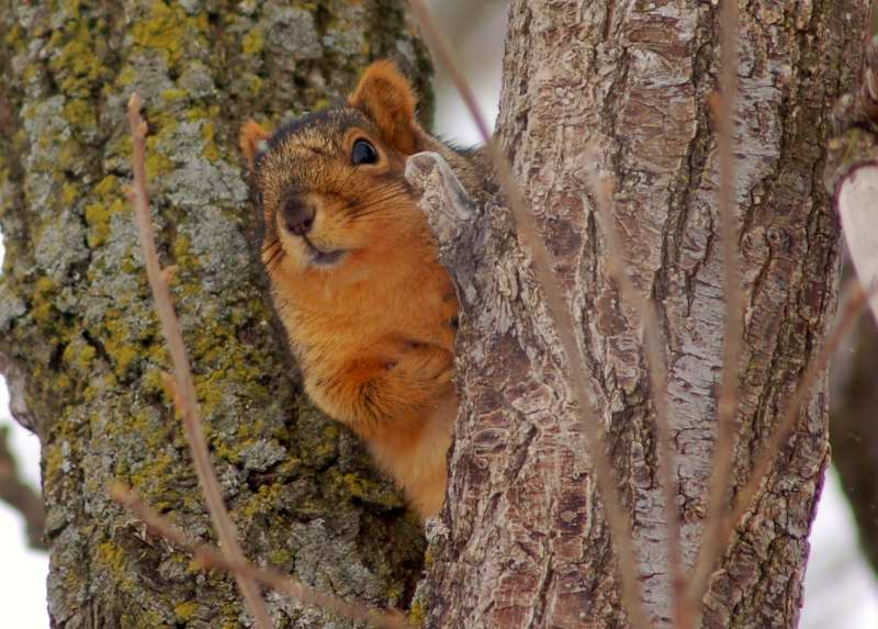Fox squirrel also looking for signs of spring