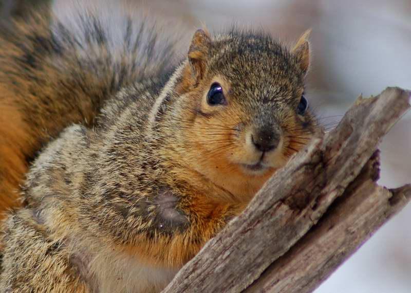 Fox squirrel enjoying the sun