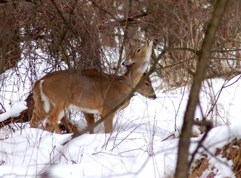 Whitetail deer feeding