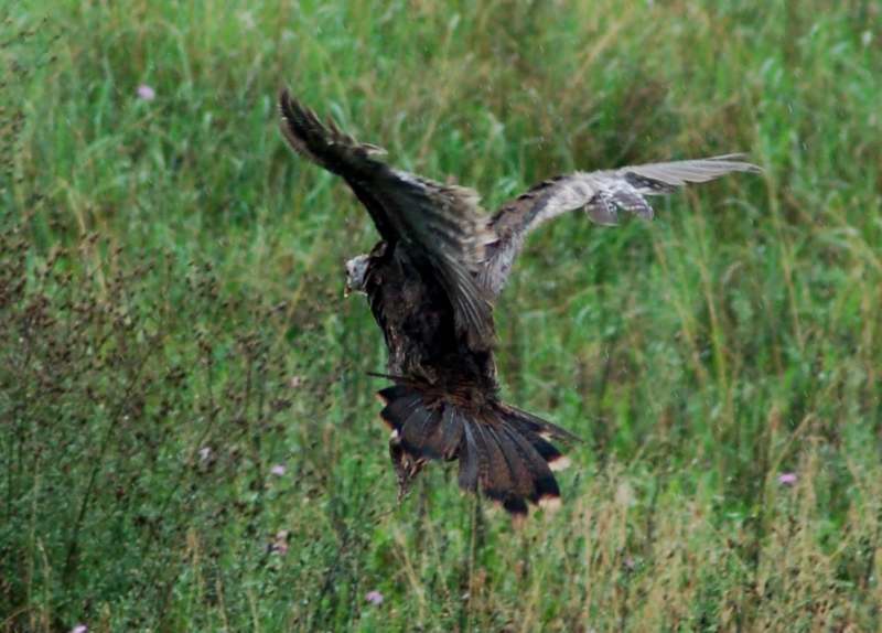 Young turkey in flight