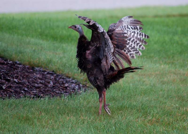 Juvenile Turkey stretching its wings
