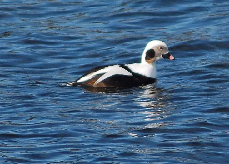 Male Long-tailed duck preparing to dive