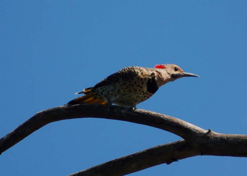 Male northern flicker doing its mating dance