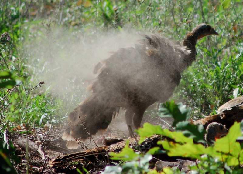Turkeys dusting