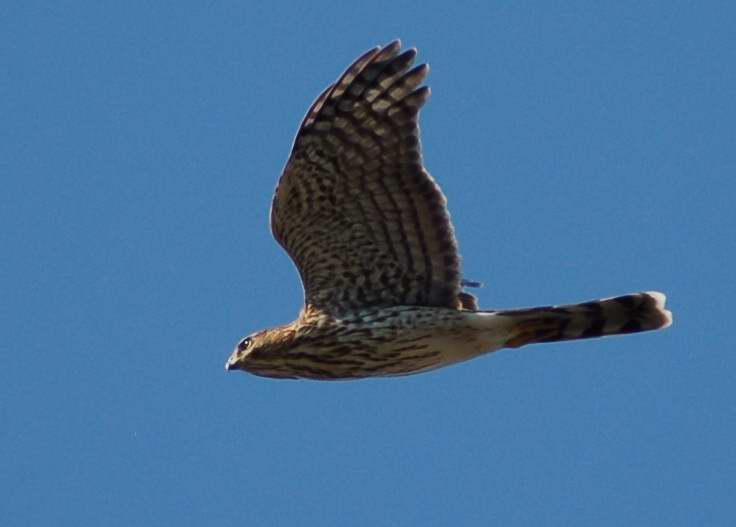 Juvenile Cooper's Hawk in flight