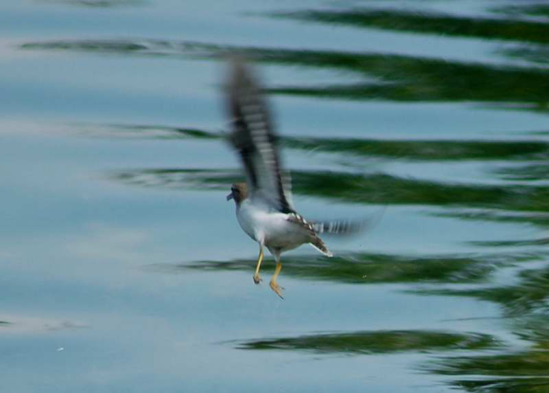Juvenile spotted sandpiper in flight
