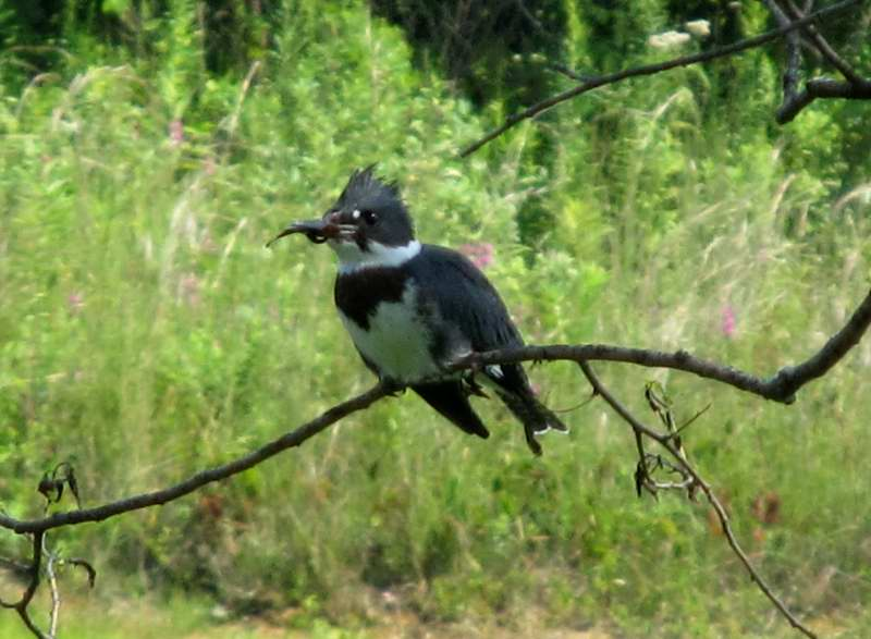 Belted Kingfisher with its catch