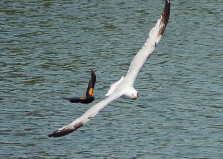 Red-winged blackbird attacking a gull