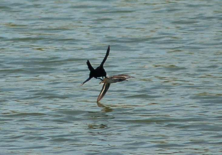 Red-winged blackbird attacking a killdeer
