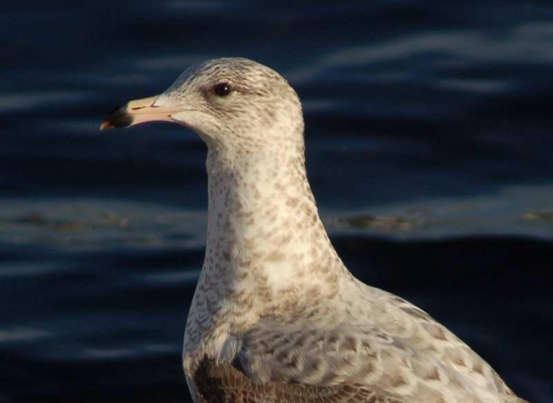 Juvenile ring billed gull