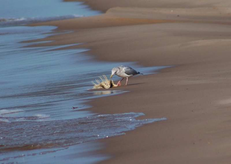Herring gull feeding on a washed up fish