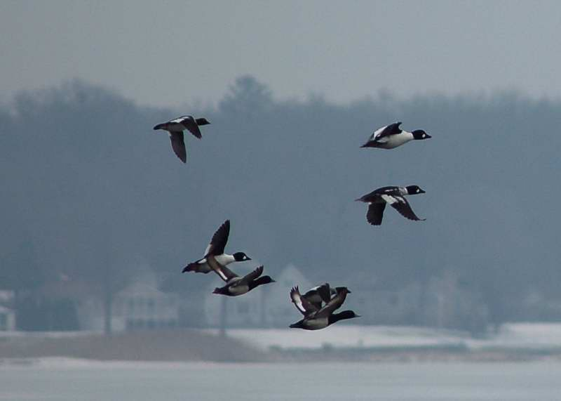 Common Goldeneye ducks in flight