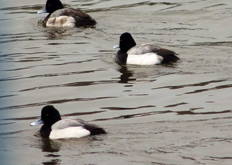 A Male lesser scaup in the foreground , with two greater scaup behind