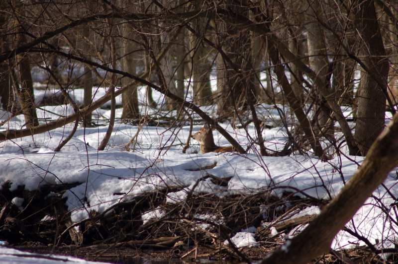 Whitetail doe resting